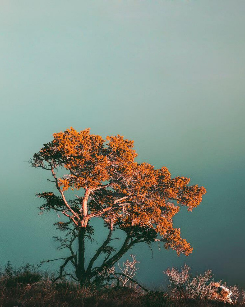 A lonely tree above the fog